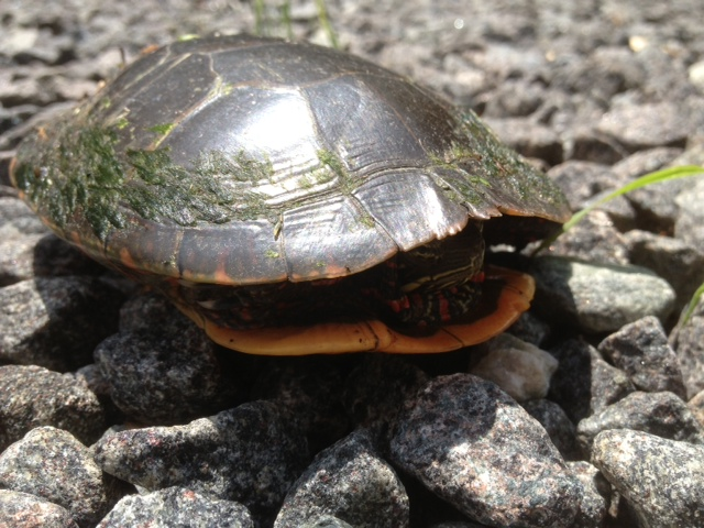 Painted Turtle Visiting Rosslyn