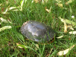 Painted Turtle Enjoying the Grass