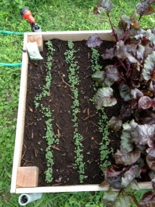 Nero di Toscana kale seedlings in a raised bed.
