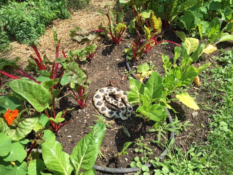 Rattlesnake decoy among the Swiss Chard to deter the White Tail Deer