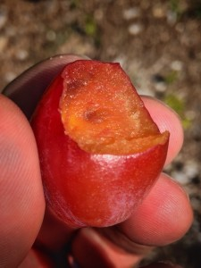 Plum Premature Fruit Drop: Rosslyn orchard, July 15, 2015