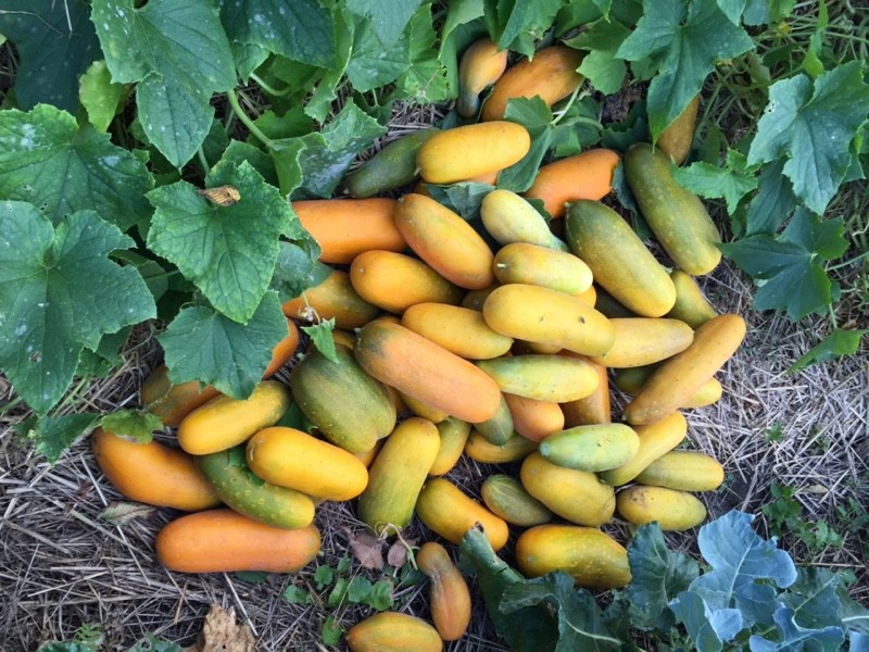 Yellow-Orange Cucumbers (Photo: virtualDavis)