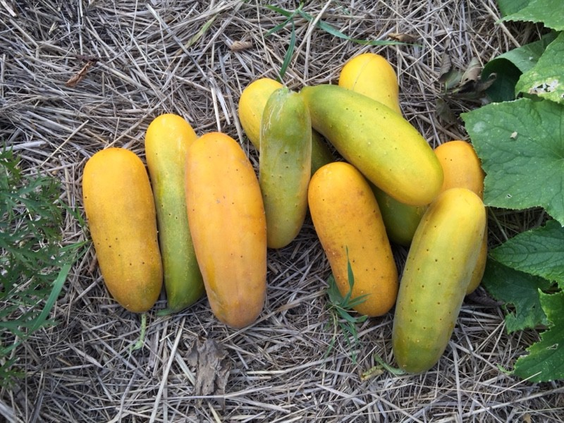 Green, Yellow, Orange Cucumbers (Photo: virtualDavis)