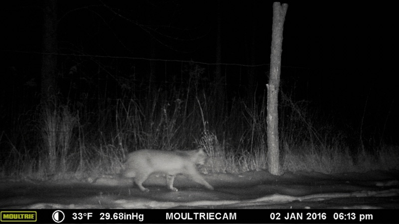 Bobcat Sighting on January 2, 2016 in Essex, NY.