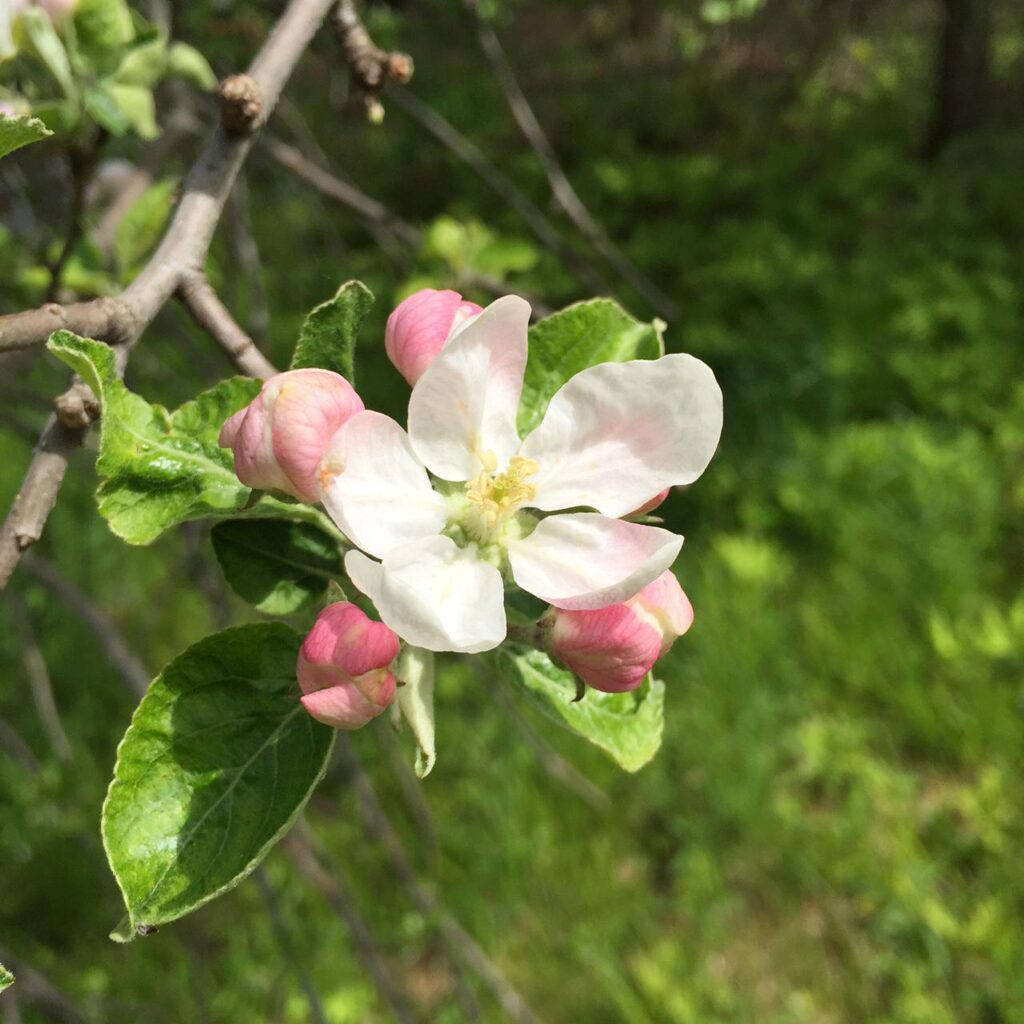 Apple Blossom, Spring 2016