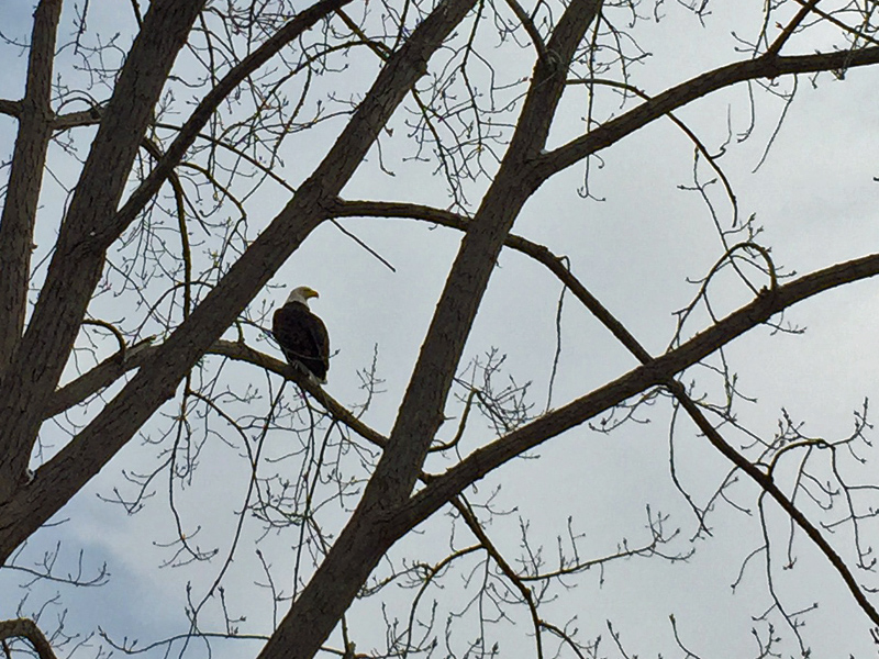 I spied this bald eagle surveying Lake Champlain today. (Source: Geo Davis)